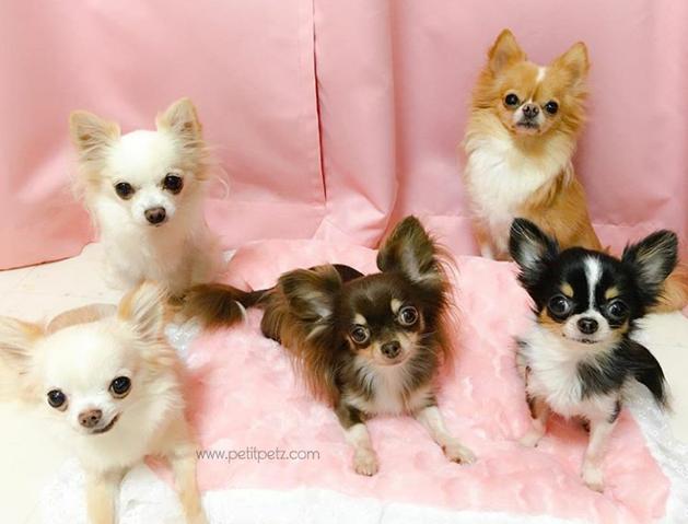 perros de raza Chihuahua en variados colores