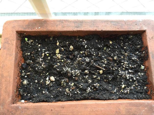 種を蒔いてから62時間後。緑が増えた気がします!