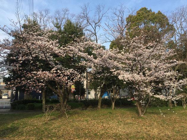 ここのサクラはまだ7.8分咲き。