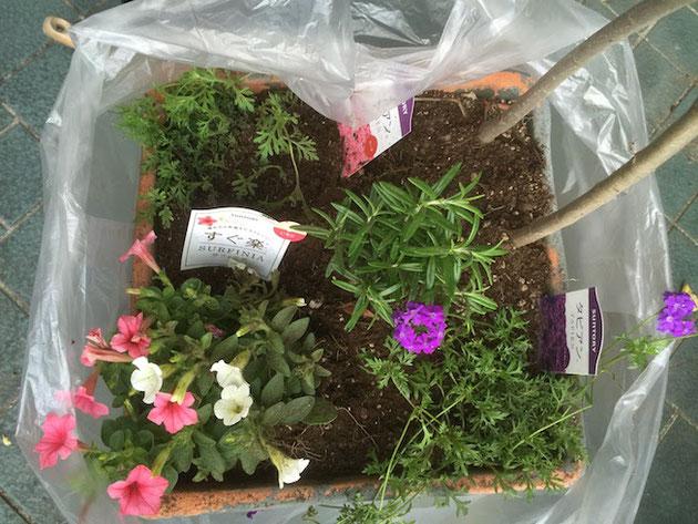 袋をかぶせたまま植物を植えて行きます。