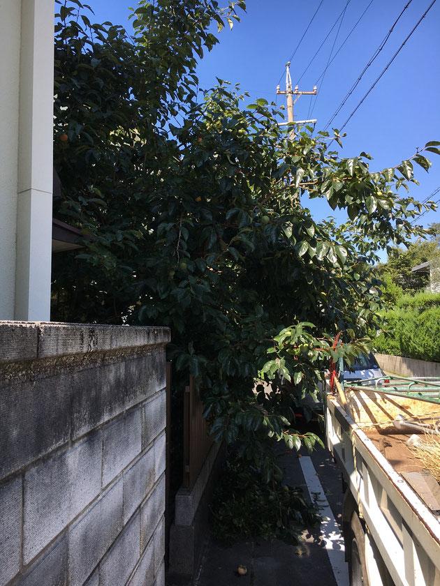 道路に大きくはみ出してしまった柿の木。