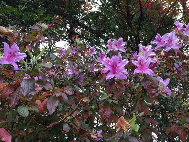 沢山花を咲かせているツツジ。葉は紅葉している。こういう品種なのか?