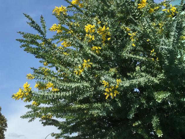 春の青い空にミモザのシルバーグリーンの葉と黄色い花が良く映えます!!!