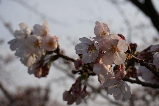 尾張旭市で2016年3月30日に撮影したソメイヨシノ。夕暮れ時の桜。綺麗な桜色の花びらですね!