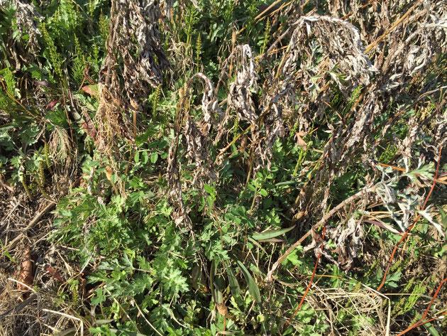 スギナが群生しているところにたくさん生えるツクシ。写真には沢山映っているのですが・・・分かりますでしょうか?