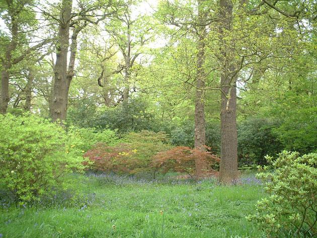 新緑の森の中で咲くブルーベル