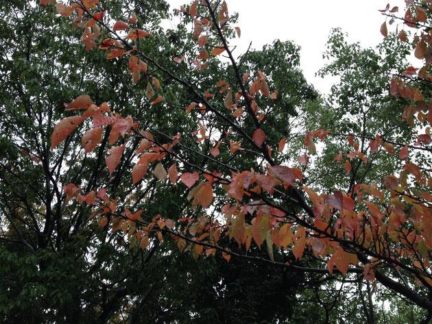 ソメイヨシノの紅葉