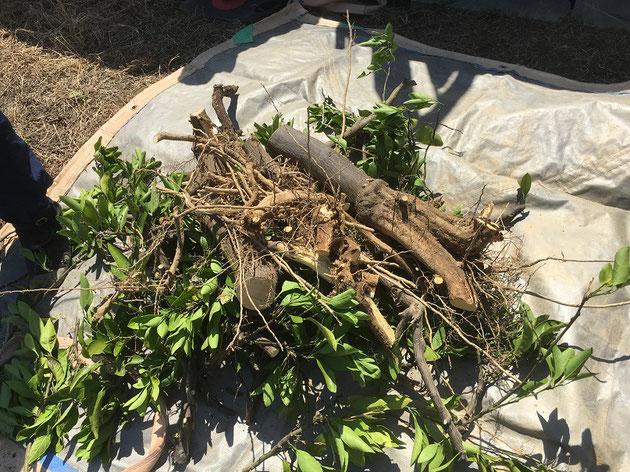 枝葉、幹、根と、分類しながら切り分けていきます