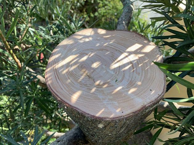 綺麗に切れたマキの木の幹。かなり太い。直径20cmくらいあるかな。