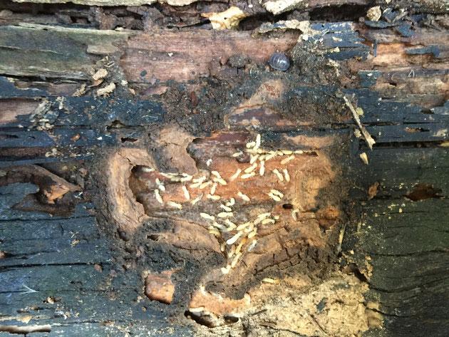 こちらの木製テーブルも施工から14年。限界が来ていたのですね。シロアリちゃんの住処となっていました。