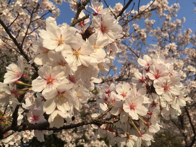 2018年4月1日はソメイヨシノ満開!