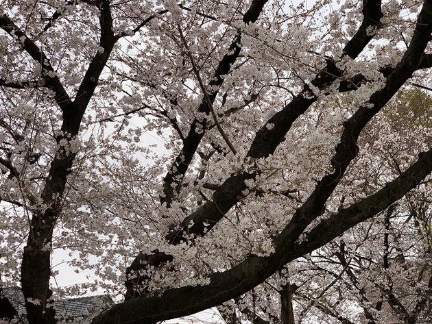 2019/3/30春日井市の公園のソメイヨシノ。もう五部咲きくらい?