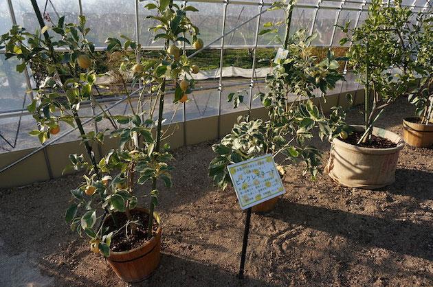 ふるさと名古屋レモン園の温室内で育てられるピンクレモネード