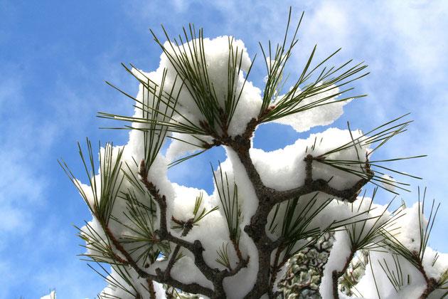 手入れされた松の枝に積もった雪