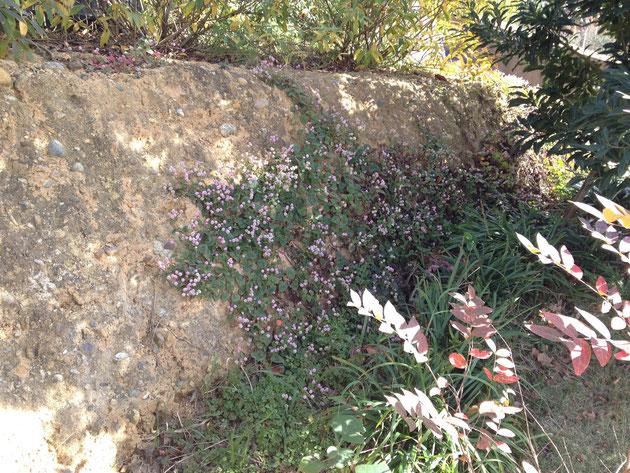 こちらの土塀は急勾配ですが崩れません 何かで固めてあるのでしょうか?ポリゴナムがいい感じ