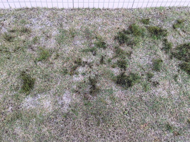 芝生に生えた雑草のみに効く除草剤を散布した結果報告です