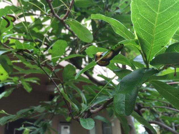 黄色から黒へのグラデーションを持つコブシを食べる虫。コブシハバチ。