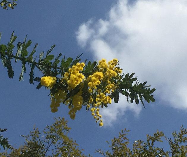 ミモザの黄色い花が咲くと春だなあと思いますね。