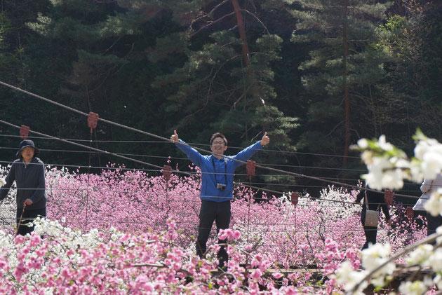 長野で桃源郷を発見!皆様も4月に駒ヶ根に行くと素晴らしいハナモモが見られますよ!