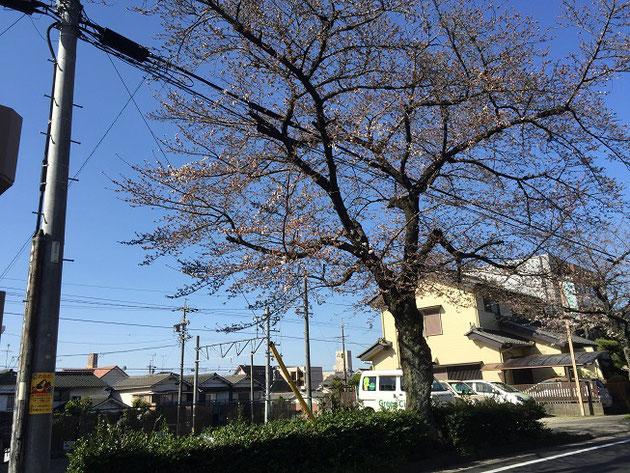 2018/3/23大森金城学院前の街路樹であるソメイヨシノ。ちょっと咲き出している。
