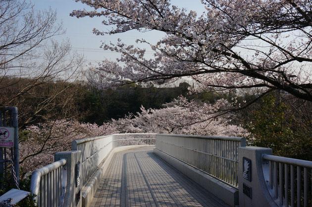 釣り堀に抜ける橋沿いにはソメイヨシノが 山だけに少し寒いのか、まだ8分咲きくらいだった
