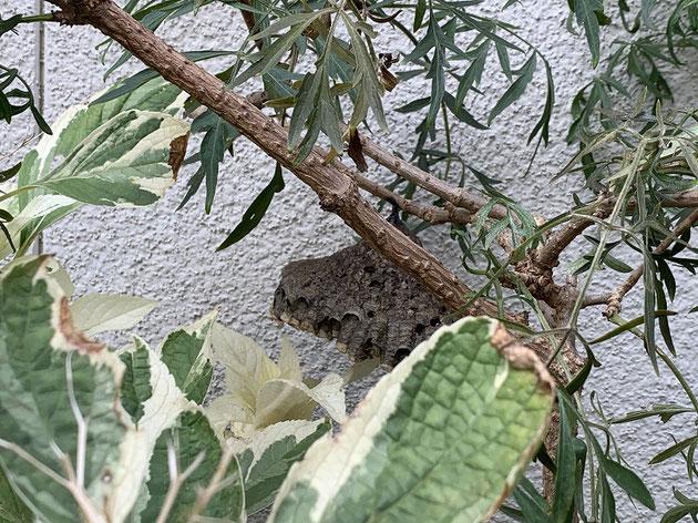 別の植物に付いていた蜂の巣。あれ?でも蜂は居ないぞ?