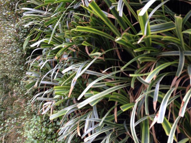 フイリヤブランが植栽された壁 お手入れが入ったみたいで葉っぱが切られてました 沢山植物があると手入れの時期は難しいですね