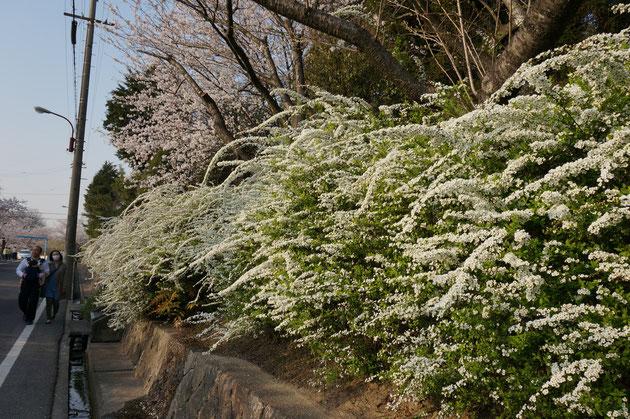 おすすめの低木 ユキヤナギ(2015.3.31撮影)