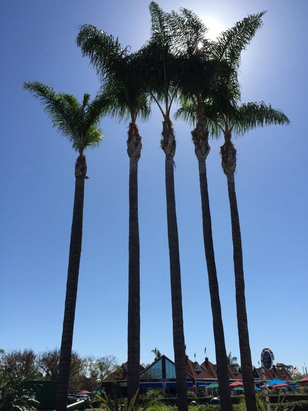 雲一つない青空のサンディエゴ 街路樹のヤシが大きく育っている