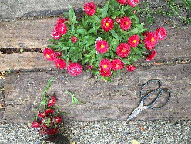 花をかっとして、すっきりしたヘリクリサム・モハーブ