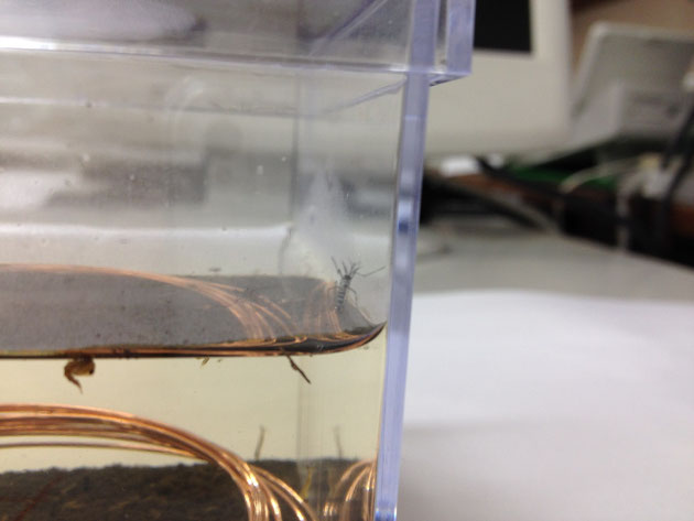 銅で蚊の発生を抑えられるか? 実験開始から1日