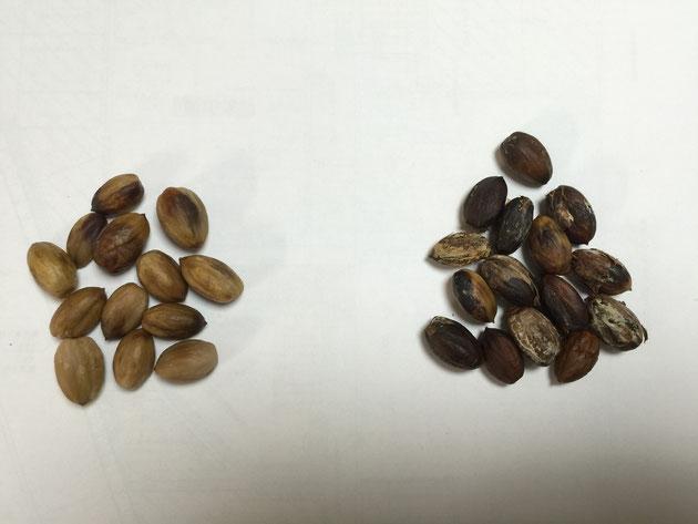 今回は食べられそうな左の実を使ってどんぐりコーヒーを作ってみました!