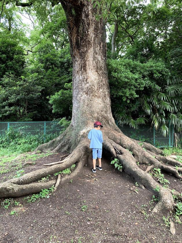 高蔵公園にある楠の大木。すごく大きくて立派です。