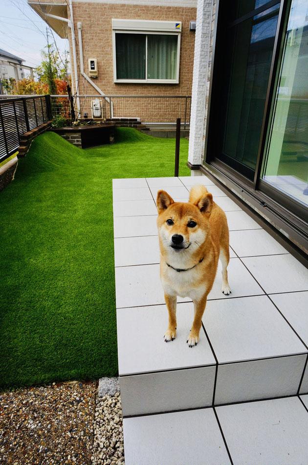 タイルテラスの上でポーズを取ってくれる柴犬コマリちゃん 激カワ!!!