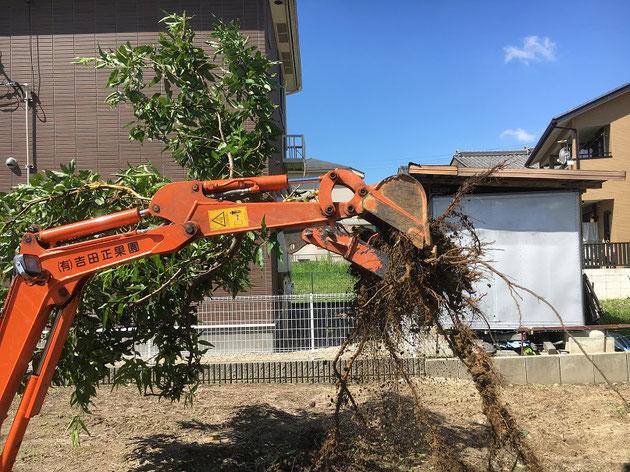 樹木撤去 根から引っこ抜きました