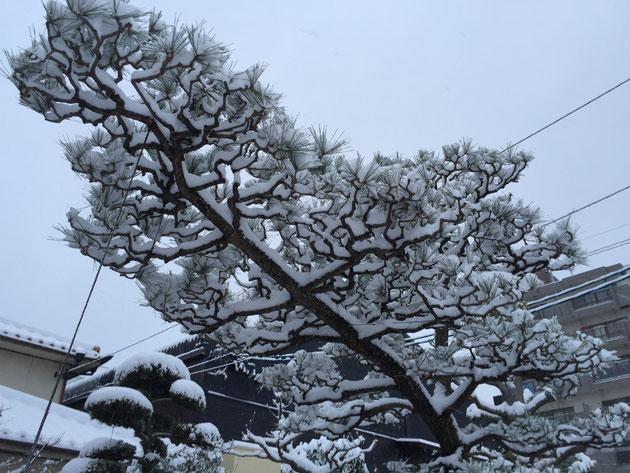雪のおかげではっきりと松の枝振りが分かる。
