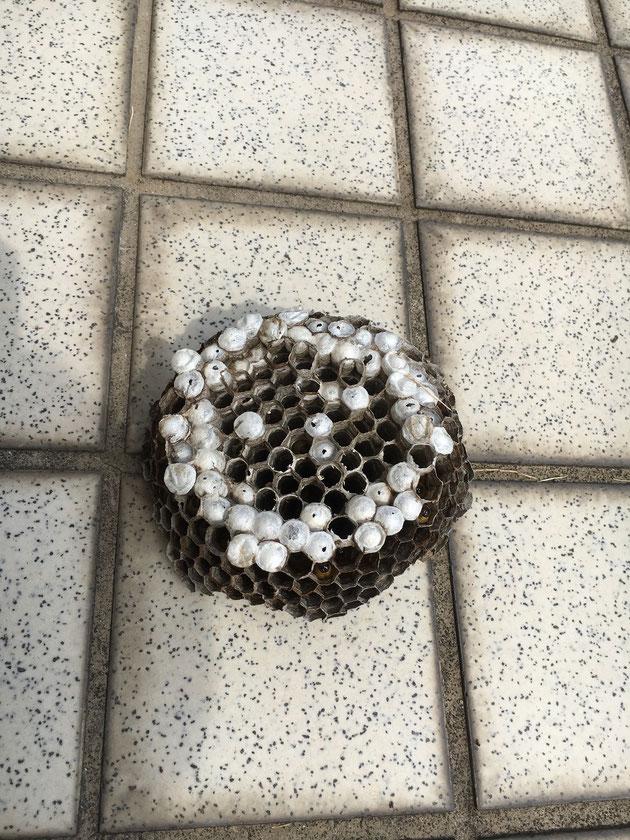 アシナガバチの巣。退治後。。