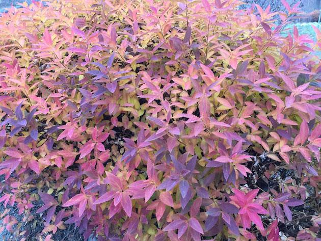 ユキヤナギの紅葉!写真撮影は2019年の1月15日!