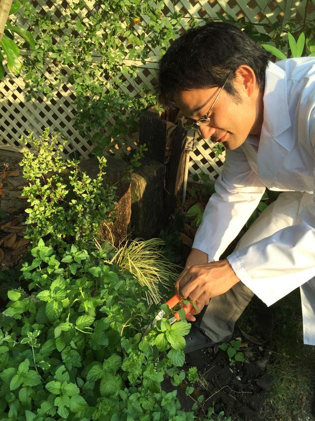 2ヶ月育てたミントを収穫するガーデンドクター柴ちゃん