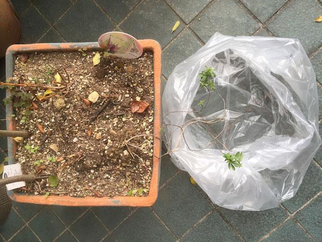 方法は簡単、植え替える植木鉢より一回り大きなビニールの袋を用意するだけ!