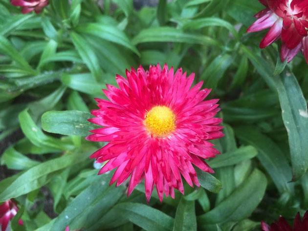 花がドライフラワーのようなヘリクリサム・モハーブ。