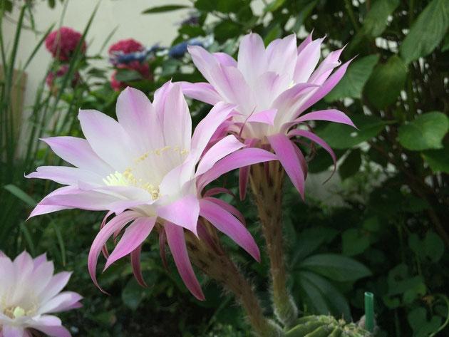 アジサイから出た美しすぎる花と同じ花が咲いていた。その先にあったのは・・・