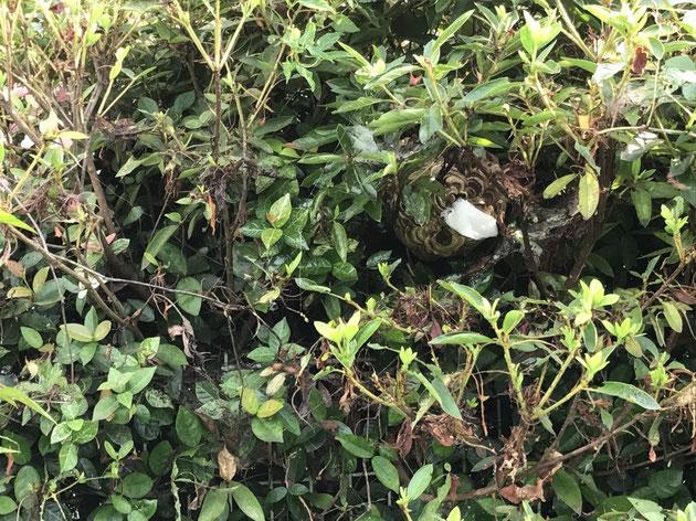 茂みの中に、蜂の巣が!!