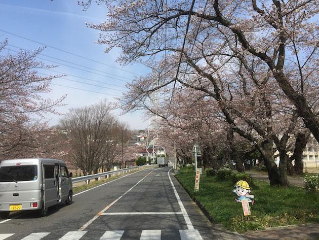 守山区雨池公園の桜は2017年4月5日で3分咲きくらい!!!