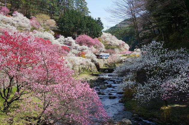 ハナモモの里。こんなに美しい場所が駒ケ根にあったとはぜんぜん知りませんでした!