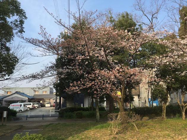 隣のサクラは日陰になるせいかちょっとまだ咲きが甘い感じ。