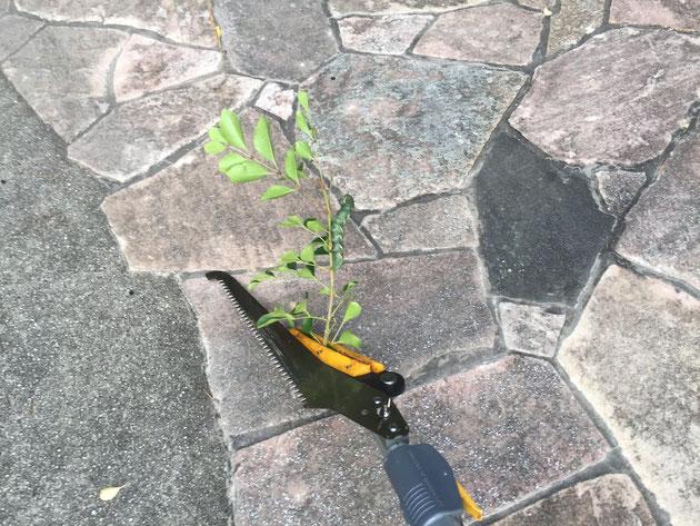 掴んだままで離さない!優秀な高枝切り鋏についてきた枝と虫。