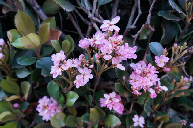 シャリンバイのピンク花。日本では殆ど見かけない。