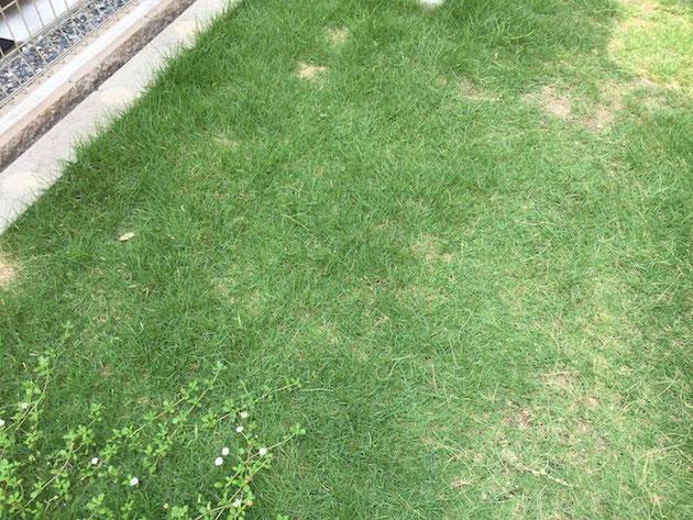 調子はとても良く芝生も青々しておりました。
