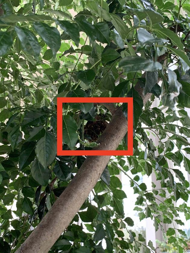 シマトネリコの枝に集まっているアシナガバチ